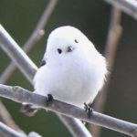 シマエナガという小鳥がかわいいとSNSで話題に!ペットにできるの?